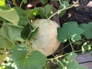Melons – July Gardening Tips from The Culinary View