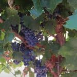 September Vineyard Notes