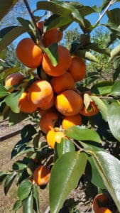 Persimmons – December Gardening Tips from The Culinary View
