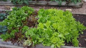 Lettuces – February Gardening Tips from The Culinary View