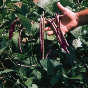 Southern Peas – Gardening Tips from the Culinary View