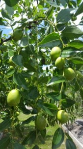 Jujube – Gardening Tips from the Culinary View