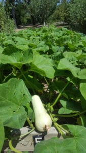 Winter Squash – Gardening Tips from the Culinary View