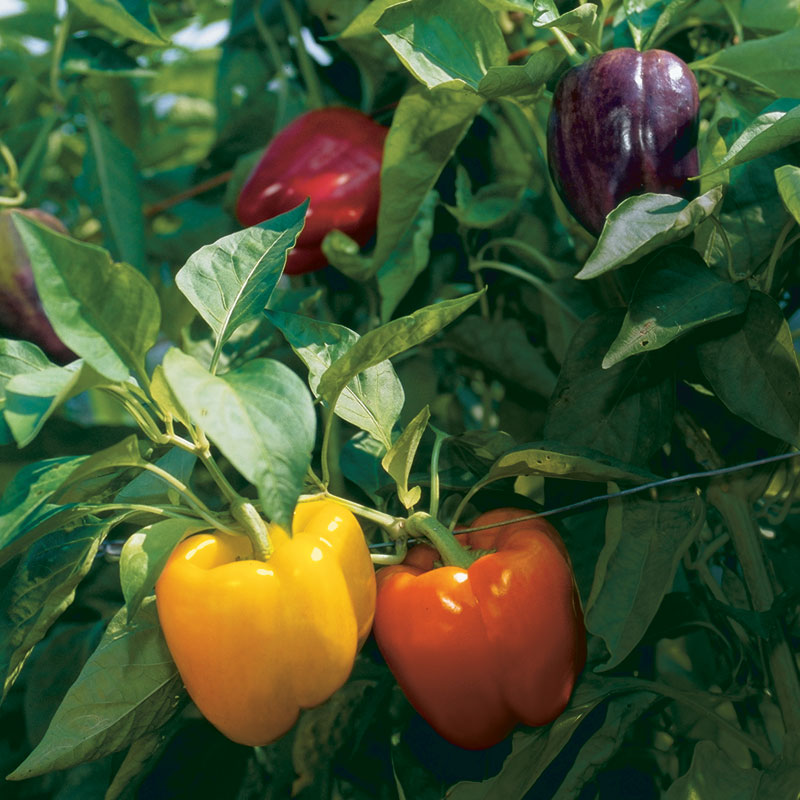 Peppers – Gardening Tips from the Culinary View