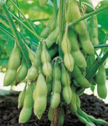 Edamame – Gardening Tips from the Culinary View