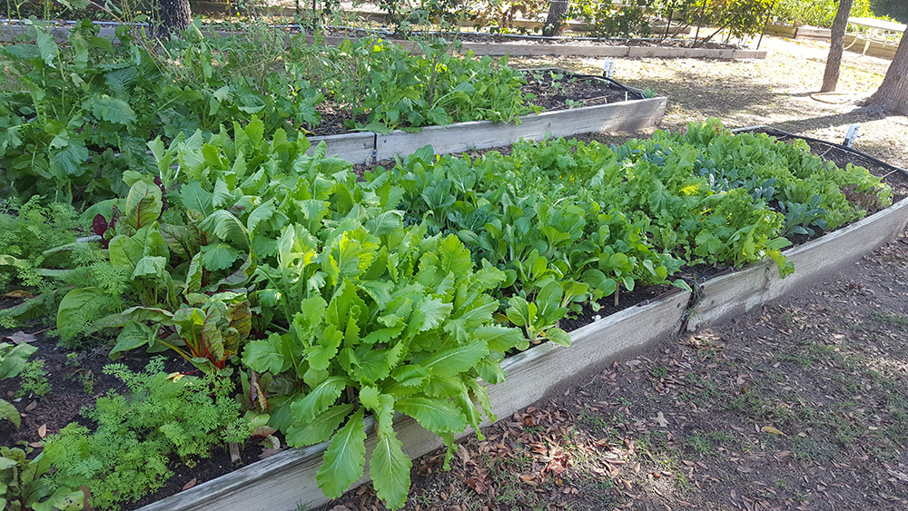 Mustard Greens – Gardening Tips from the Culinary View