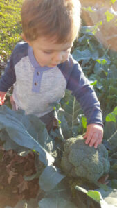 Broccoli – Gardening Tips from the Culinary View