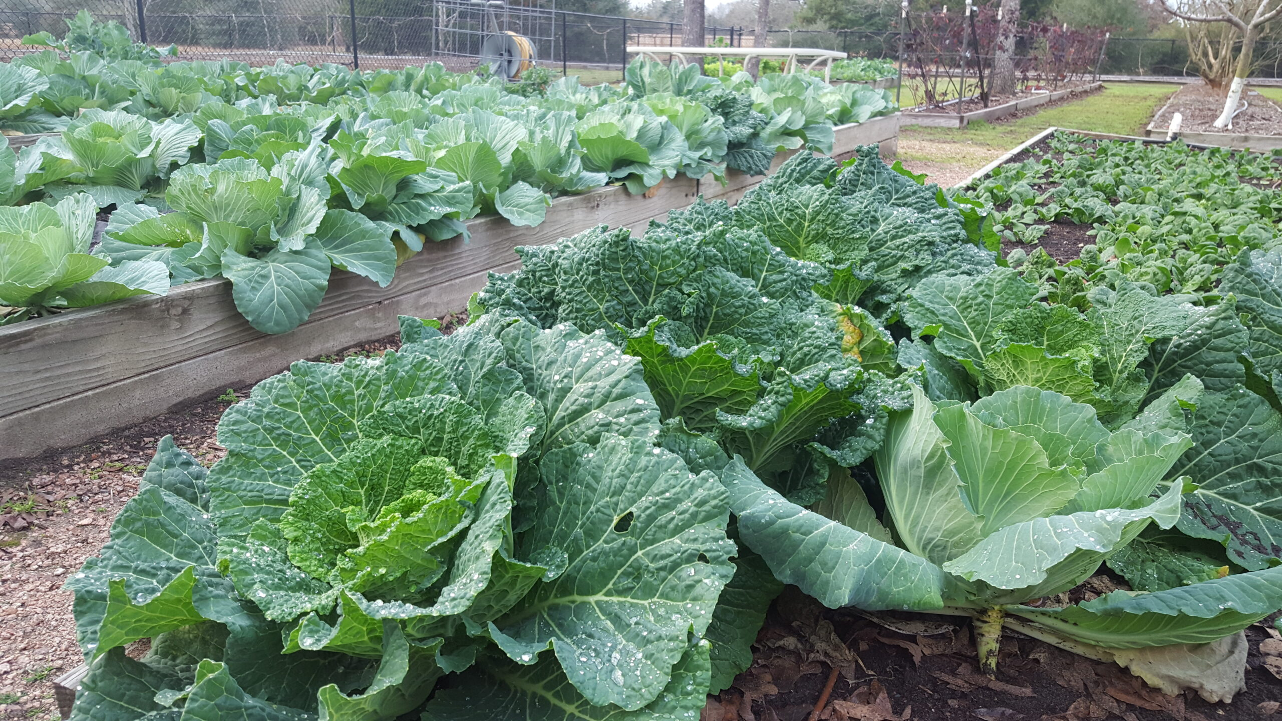 Versatile & Healthful Cabbage – Gardening Tips from the Culinary View