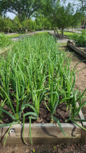 Onions- Gardening Tips from the Culinary View