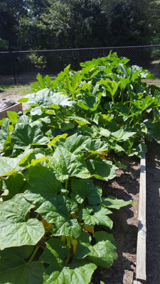 Squash- Gardening Tips from the Culinary View