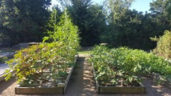 Okra- Gardening Tips from the Culinary View